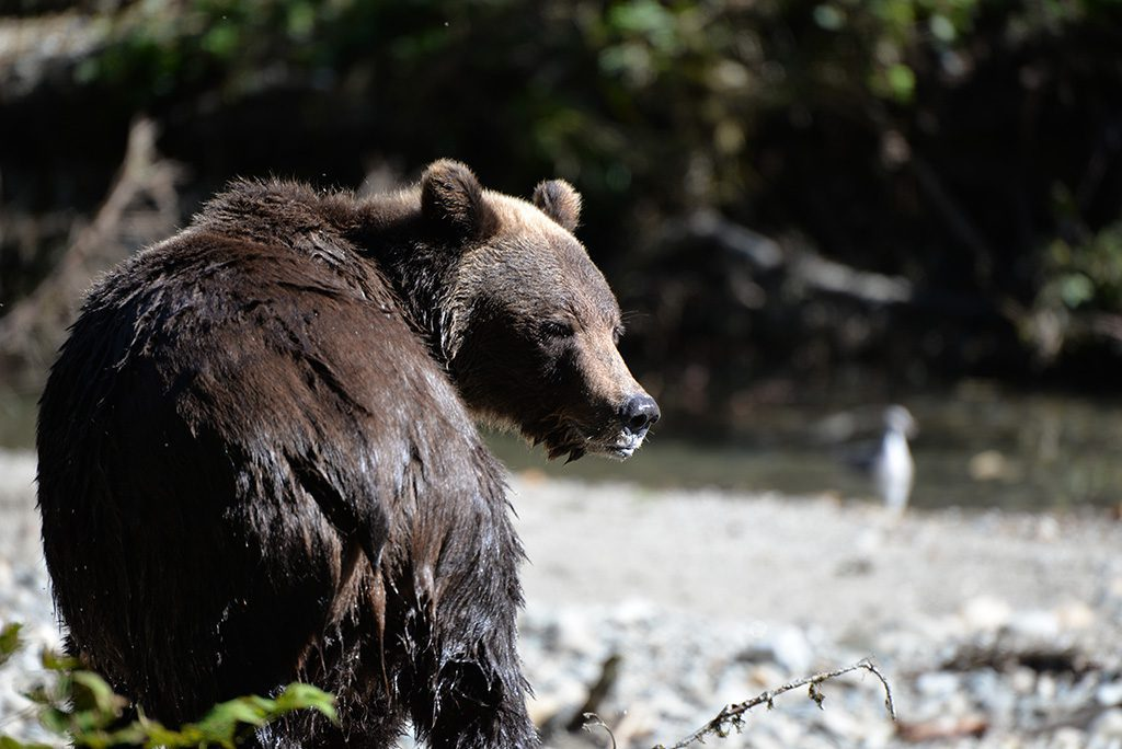 Grizzly Bear Tours